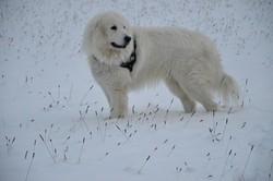 Félix, chien Mâtin des Pyrénées