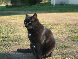 Félix, chat Européen