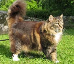 Félix, chat Norvégien