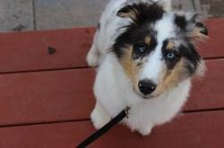 Félix, chien Berger des Shetland