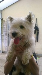 Felix, chien West Highland White Terrier