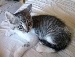 Félixe, chat Européen