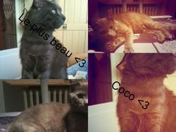 Félix, chat Bleu russe