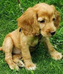Felix, chien Clumber Spaniel