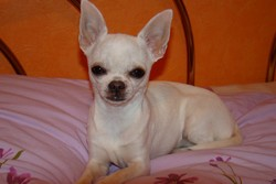 Félyna, chien Chihuahua