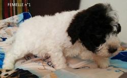 Femelle 1 Portée 24 Septembre 2014, chien Chien d'eau romagnol