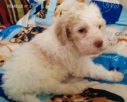 Femelle 2 Portée 24 Septembre 2014, chien Chien d'eau romagnol
