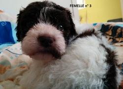 Femelle 3 Portée 24 Septembre 2014, chien Chien d'eau romagnol