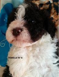 Femelle 4 Portée 24 Septembre 2014, chien Chien d'eau romagnol