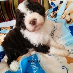 Femelle 5 Portée 24 Septembre 2014, chien Chien d'eau romagnol