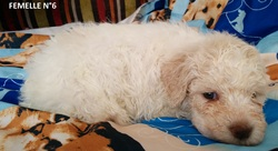 Femelle 6 Portée 24 Septembre 2014, chien Chien d'eau romagnol