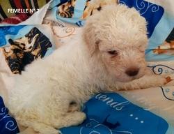 Femelle 7 Portée 24 Septembre 2014, chien Chien d'eau romagnol