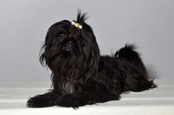 Fen-Shi, chien Shih Tzu