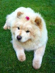 Fen, chien Chow-Chow
