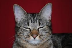 Fend La Bise, chat Européen