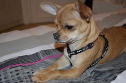 Fendi, chien Chihuahua