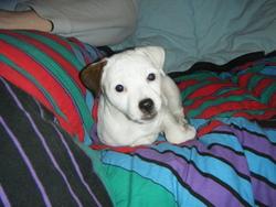 Fendi, chien Parson Russell Terrier
