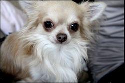 Fendy, chien Chihuahua
