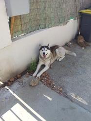 Fénix, chien Husky sibérien
