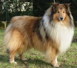 Fenja, chien Colley à poil long
