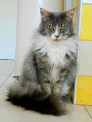 Fenrir, chat Maine Coon