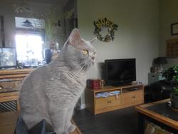 Fenris, chat British Shorthair