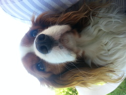Ferdgy, chien Cavalier King Charles Spaniel