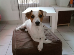 Fergie, chien Jack Russell Terrier