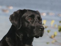 Fergie Du Haras Del Viento, chien Labrador Retriever