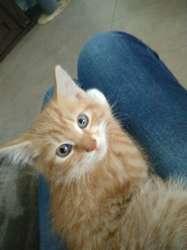 Fergus, chat Européen