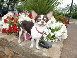Ferguson, chien Chihuahua