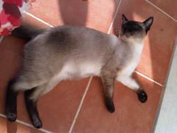 Feriel, chat Siamois