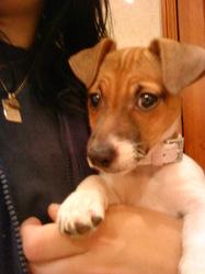 Ferjy, chien Jack Russell Terrier