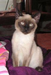 Fernandito, chat Siamois