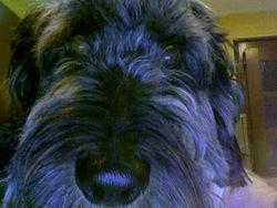 Ferrero, chien Teckel