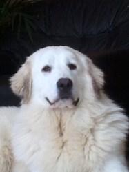 Férria, chien Chien de montagne des Pyrénées