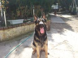 Fesco, chien Berger allemand