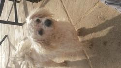 Fêtard , chien Bichon à poil frisé
