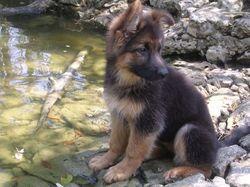 Feu, chien Berger allemand