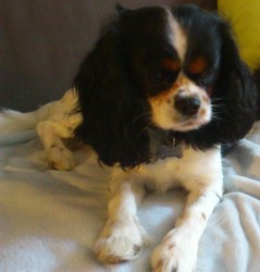 Fever, chien Cavalier King Charles Spaniel