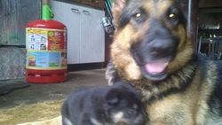 Fewa, chien Berger allemand