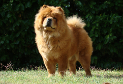 Feya, chien Chow-Chow