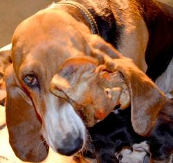 Feyja, chien Basset artésien normand