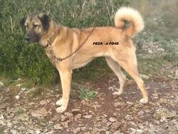 Feza Kangal, chien Berger d'Anatolie