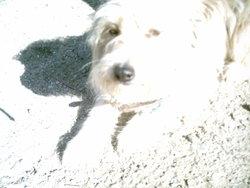 Carla Dite Scarlatine, chien