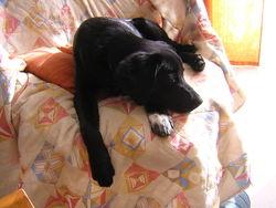 Nirva, chien