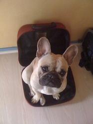 Elliot, chien Bouledogue français