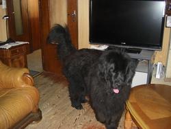 Anakita, chien Terre-Neuve