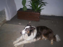 Bacus, chien Border Collie