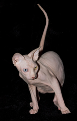 Denfer, chat Sphynx